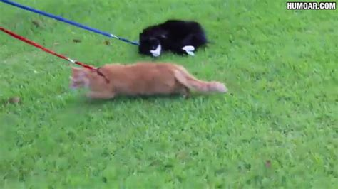 puppy refuses to walk cat refuses to walk on a leash humoar
