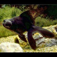 caresheets black moor (dragon eye / black peony goldfish
