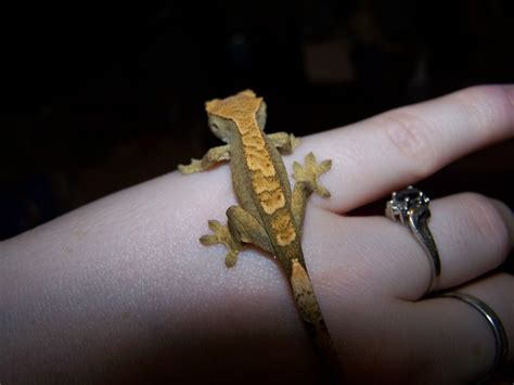 gecko change color morph and color changing crested geckos
