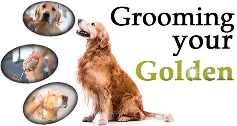 cutting golden retriever nails golden retriever grooming what tasks need doing