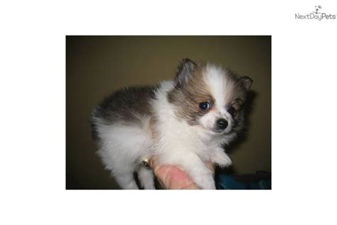 micro teacup pomeranian puppies sale tiny micro teacup pomernian breeds picture