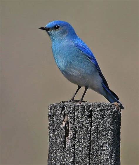 challis golf course bluebird trail idaho birding trail