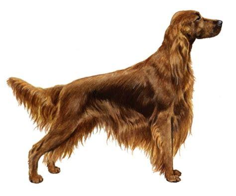 red setter dog weight irish setter wisdom panel uk
