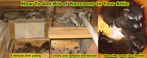 How To Get Rid Of Raccoons In The Attic House Roof How To Get Rid Of Raccoons In Your Backyard