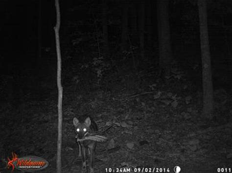 coyotes, caught in the act!