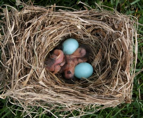 bluebird eggs color blue eggs bird www pixshark images galleries with