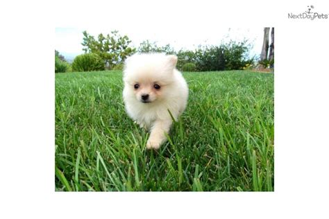 pomeranian puppies for sale in arizona pomeranian puppies pomeranian puppy for sale in az breeds picture