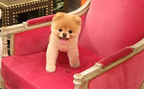 how to shave a pomeranian like boo boo the pomeranian world s cutest has millions of fans and a book