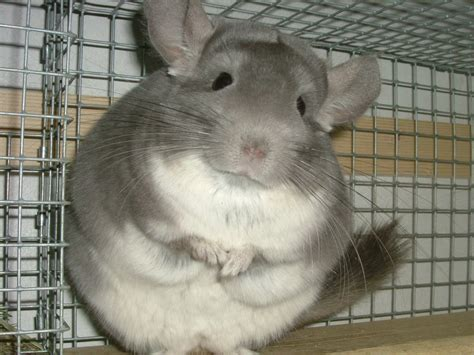 physical attributes the pet chinchilla