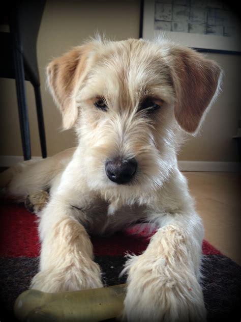 schnauzer mix puppies photos of cairn terrier grooming styles newhairstylesformen2014