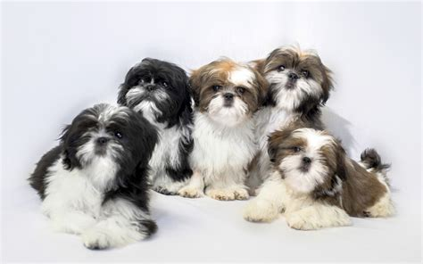shih tzu temperament spunky shih tzu puppies breed information puppies for sale