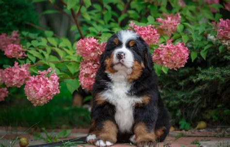 Baby Animal Bernese Mountain Dog Dog Flower Hydrangea Pet ...