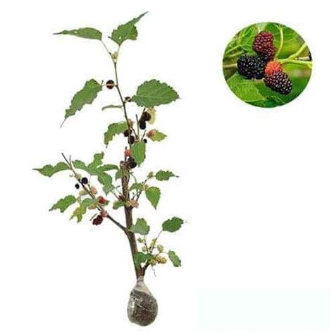 Bibit Tanaman Buah Murbei Besaran jual tanaman murbei besaran bibit