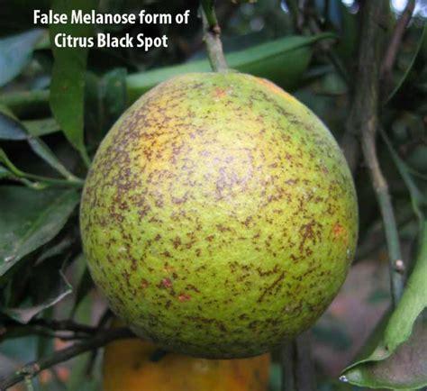 fruit tree spots fact sheet citrus black spot citrus diseases