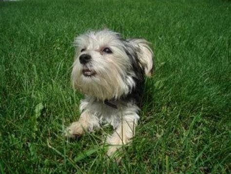 why has my maltese terrier got thin hair why has my maltese terrier got thin hair friends widljs