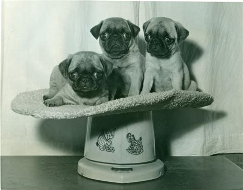 pug breed history pug history temperament american kennel club
