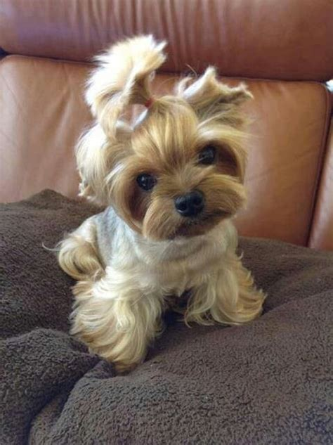 yorkie top knot yorkie top knot yorkies my favorite