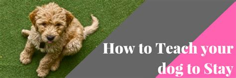 how to teach a puppy to stay how to teach your to stay advice tips
