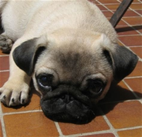 kennel cough in pugs kennel cough how serious is it pet sitting in fort lauderdale west palm