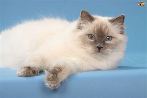 Caring for a Ragdoll cat   Pets4Homes