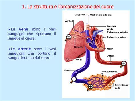 struttura vasi sanguigni il sistema cardiocircolatorio ppt scaricare