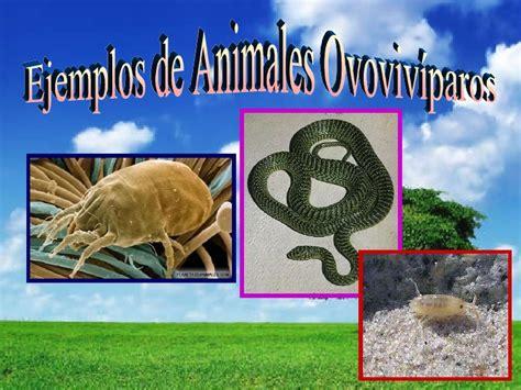 imagenes de animales ovoviviparos reproducci 243 n animal arelis