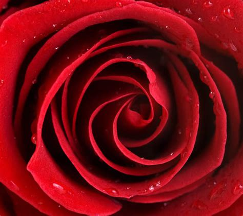 wallpaper android rose 60 beautiful wallpapers for your android phone 171 android