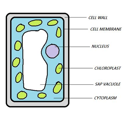 mesophyll cell diagram palisade labeled cell diagram clipart best