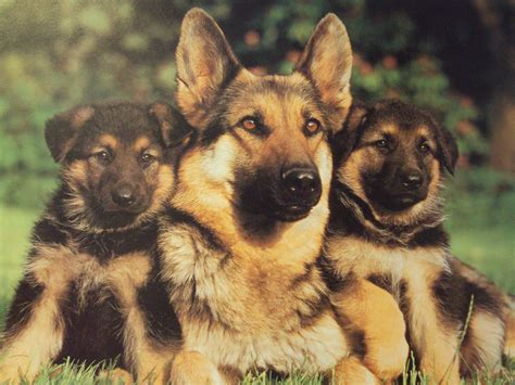 are german shepherds family dogs family portrait animals dogs german german shepherd puppies sheperd 2507