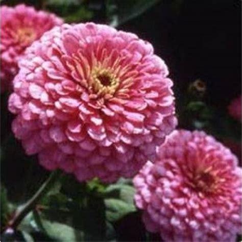 10 Benih Biji Bunga Zinnia Carpet bibit bunga zinnia luminosa pink
