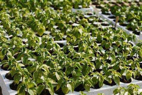 start grow peppers  seed pepper joes