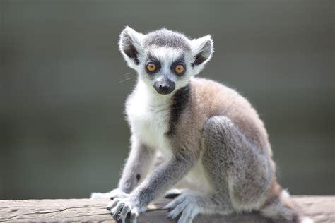 baby lemur exmoor zoo exmoor 4 all