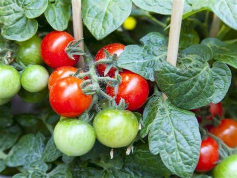 coltivare ortaggi in vaso pomodori nani mini ortaggi da coltivare in vaso o sul balcone