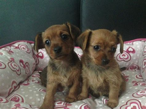yorkie cross puppies for sale dachshund cross terrier puppies for sale dunmow essex pets4homes