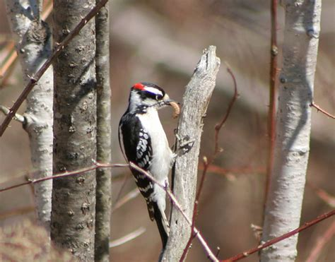 downy woodpecker eating grub downy eating grub