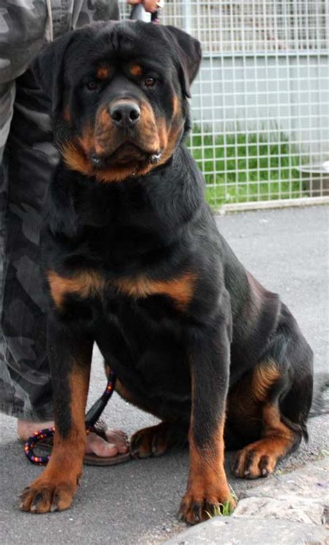 rottweiler for sale brisbane rottweiler breeders links and breed information on pups4sale au