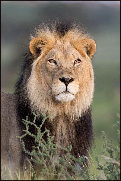 kalahari tattoo instagram 1267 best lions lioness images on pinterest big cats