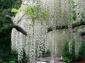 White Flowering Tree - white flowering tree identification white flowered trees