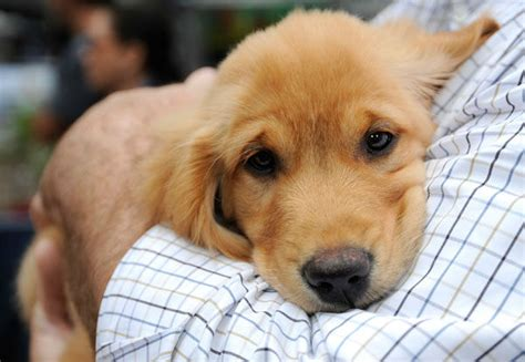 by good morning golden retriever brad pitt and puppies appear on good morning america