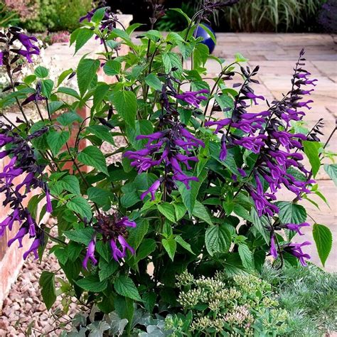 Blooming For by Southern Living Plant Collection 2 Gal Amistad Salvia