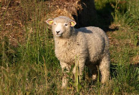 sheep ovis aries animals   animals