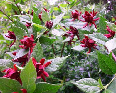 calycanthus floridus sweet shrub de groot