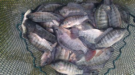 Alat Pemberi Makan Ikan Otomatis Kolam blue tilapia fry fingerlings and breeder sets