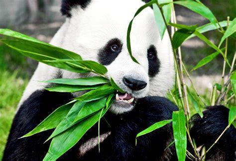 alimentazione panda il destino panda 232 nelle dell uomo idee green