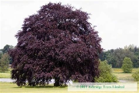 green is the new black www copperbeech com au indoor the copper or purple beech tree fagus sylvatica purpurea