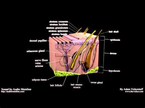 cross section of human skin cross section of human skin with list of parts youtube