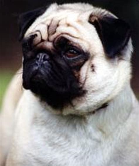 pugs characteristics breed profile