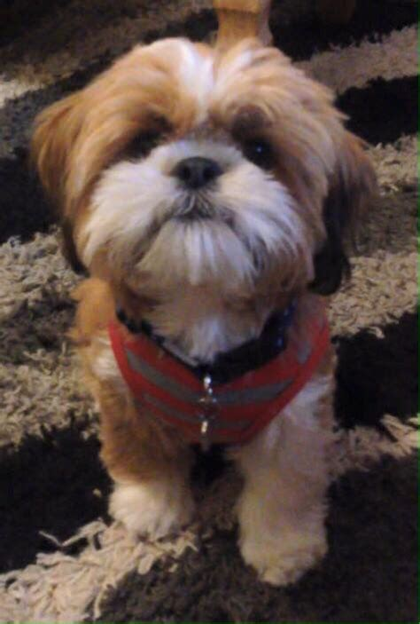male shih tzu hair styles teddy should cut louie s hair like this for the love