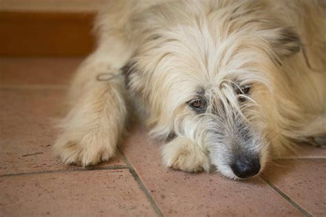 s disease in dogs treatment atypical s disease in dogs symptoms causes diagnosis treatment recovery