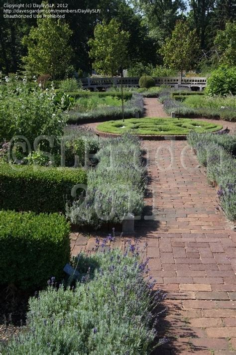 Plantfiles Pictures Lavandula English Lavender Vicenza Botanical Gardens Arbor Mi